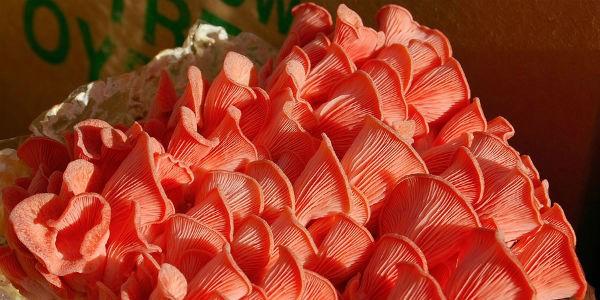грибы вешенки-выращивание на дому