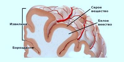 Головной мозг-анатомия