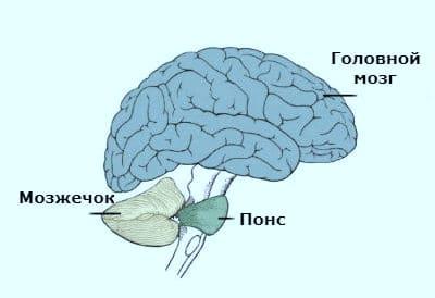 Мозжечок-расположение